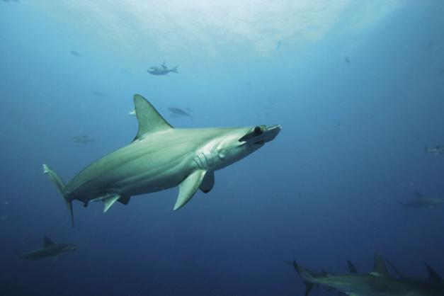 Oris : un horloger qui s'engage pour la protection des requins