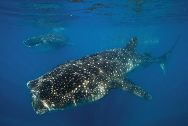 Oris Whale Shark Limited Edition : une montre pour la protection du plus gros poisson du monde