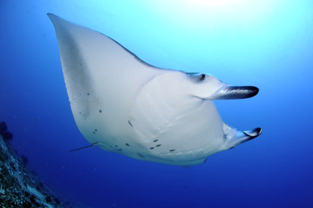 Carl F. Bucherer : Patravi Scubatec Maldives : pour la sauvegarde des raies manta
