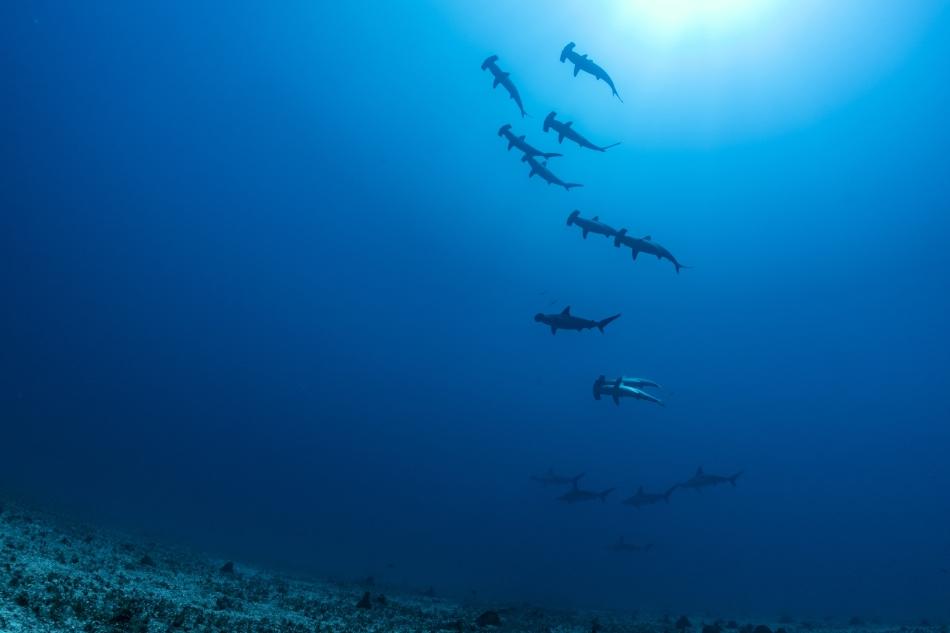 La Perouse - Hammerhead sharks © Laurent Ballesta
